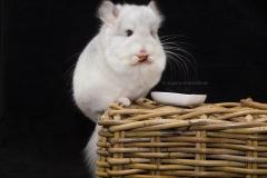 Böckchen, Angora Chinchilla RPA Wilson White, mögl. Violett Träger (50%)