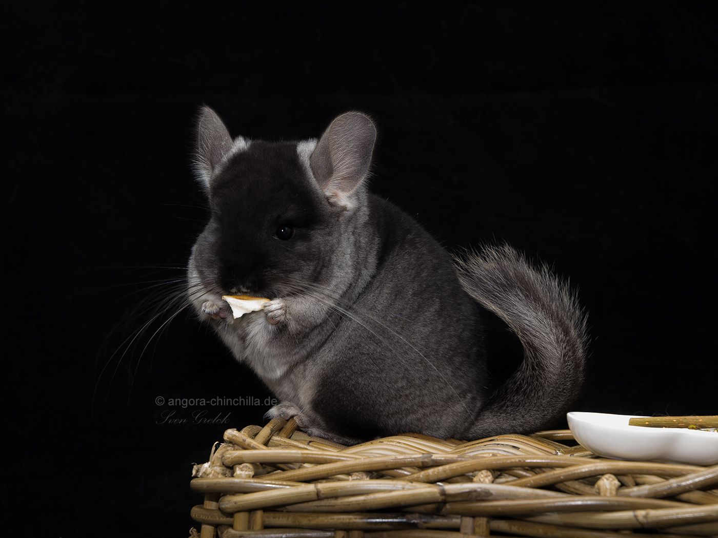 female, angora chinchilla Carrier RPAC black velvet TOV poss. violet carrier (50%)