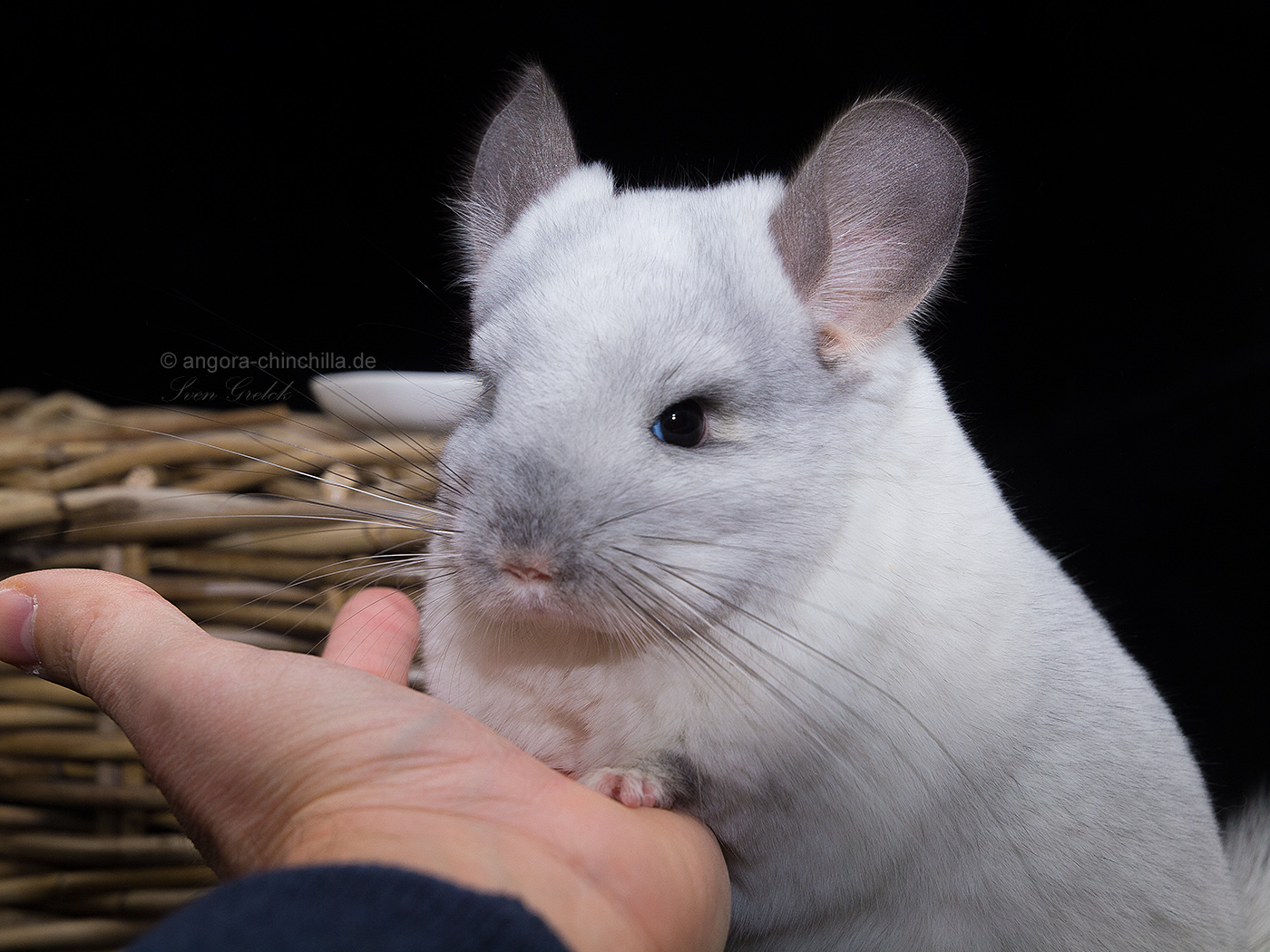 male, angora chinchilla carrier RPAC black white cross, poss. violet carrier (50%)