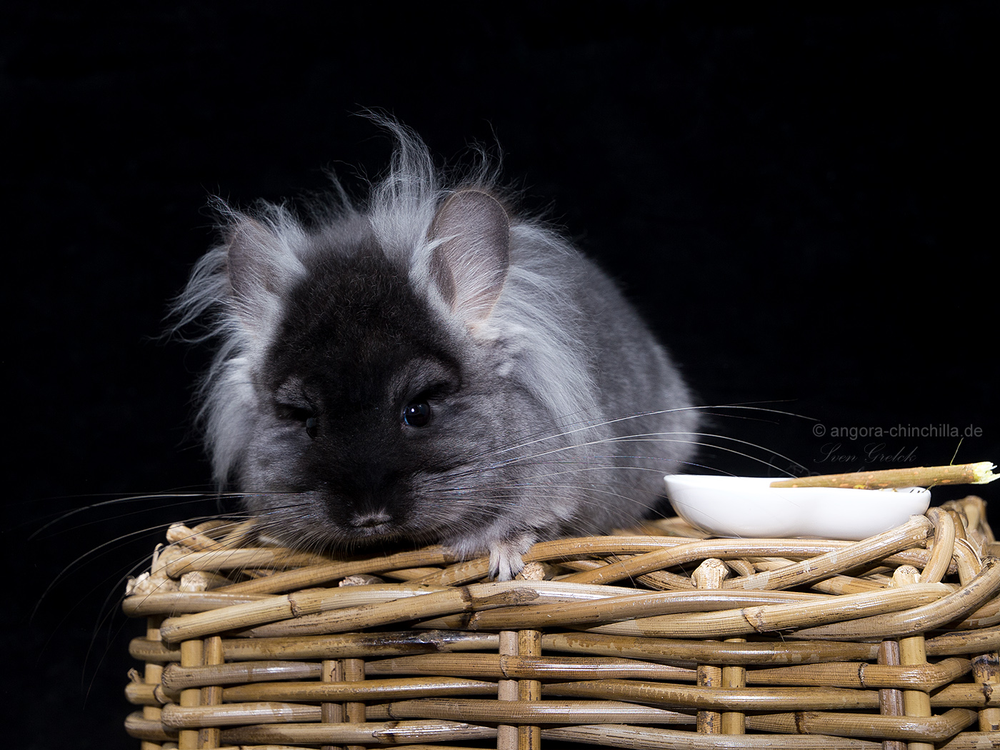 male, angora chinchilla RPA black velvet TOV, poss. violet carrier (50%)