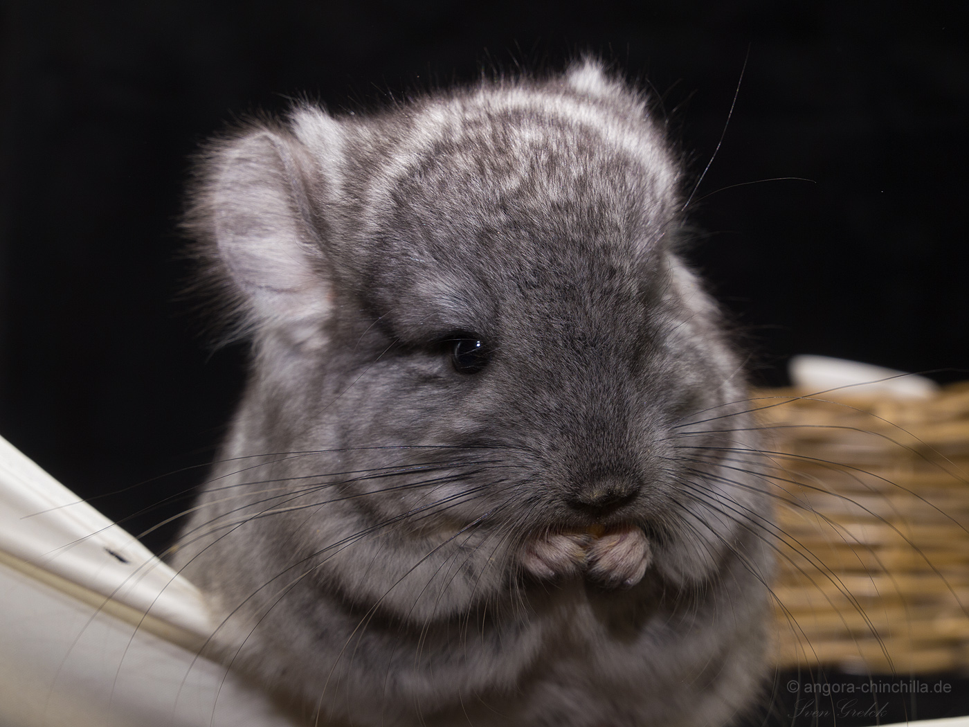 male, angora chinchilla RPA standard