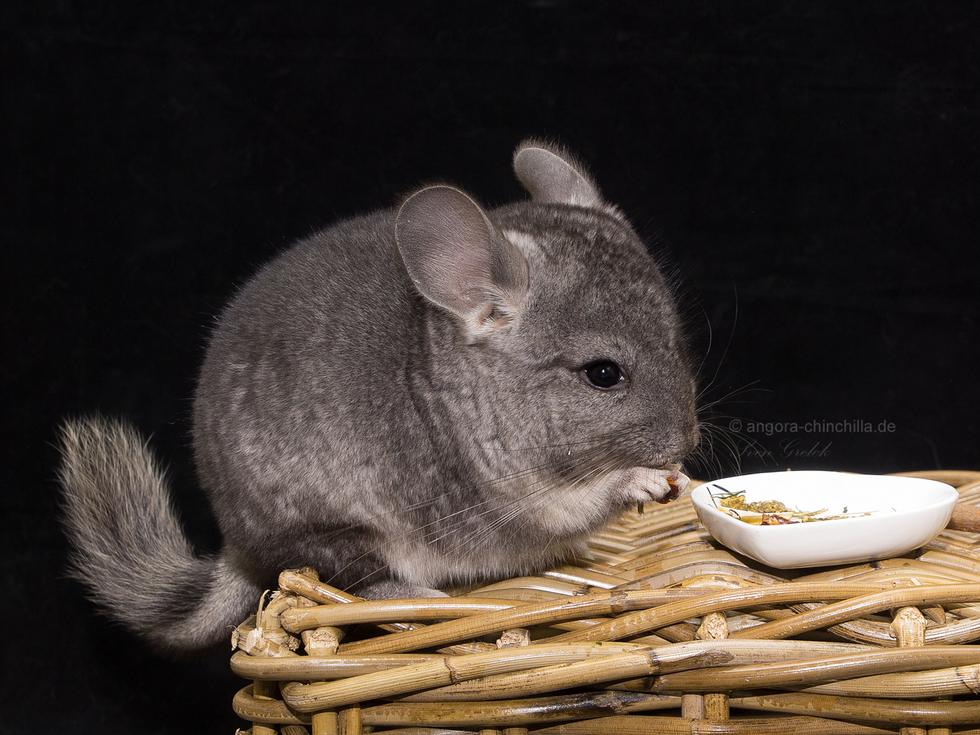 male, angora chinchilla carrier RPAC Standard, poss. violet carrier (50%)