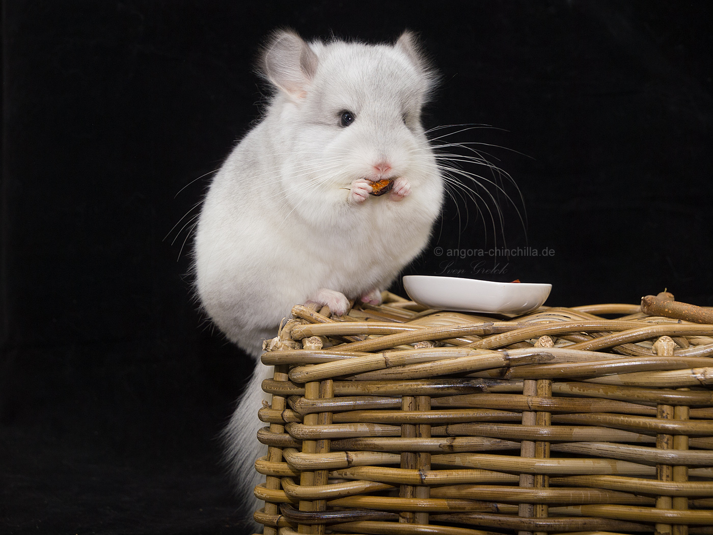 male, angora chinchilla RPA Wilson white, poss. violet carrier (50%)